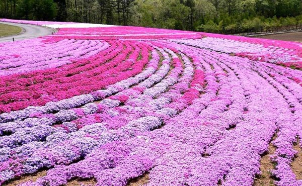 Nhật Bản rực rỡ màu hoa mùa hạ