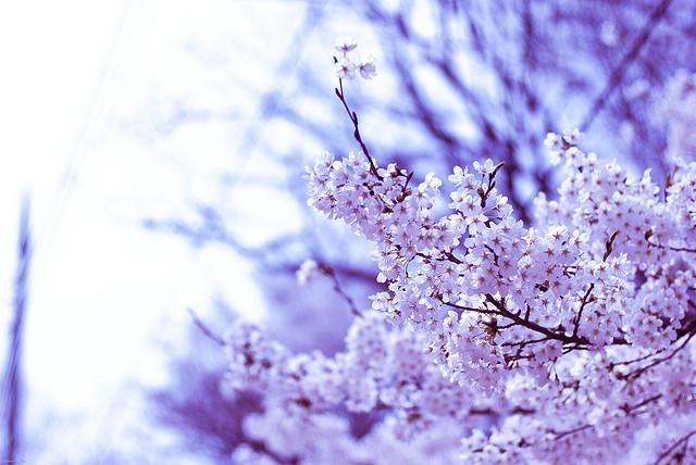 Cùng với những cảnh đẹp nơi đây, hoa anh đào cũng như thêm một màu sắc làm thiên nhiên Seoul càng say tình người, và đến thăm Seoul du khách cũng nên một lần ghé thăm Jinhae để được đắm mình trong sắc thăm hoa anh đào. Jinhae có rất nhiều cây hoa anh đào, Jinhae là một nơi hơi xa cho chuyến đi trong ngày, nhưng theo khía cạnh khác, nó là một trong những nơi tốt nhất trên thế giới để ngắm hoa anh đào vào mùa xuân.