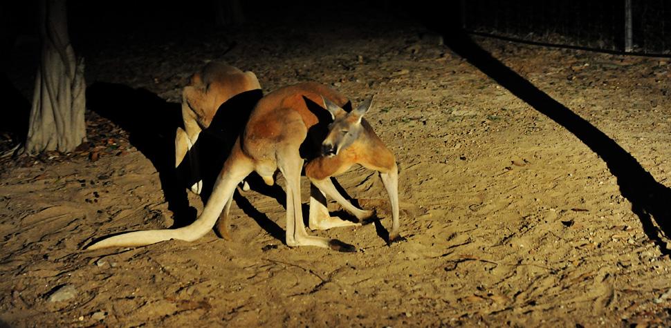Tham quan vườn thú đêm độc đáo ở Singapore