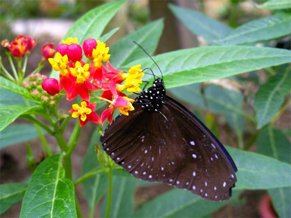 Vườn bướm sặc sỡ sắc màu ở Phuket
