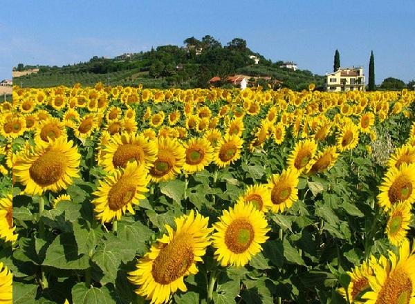 Rực rỡ cánh đồng hoa hướng dương Lop Buri