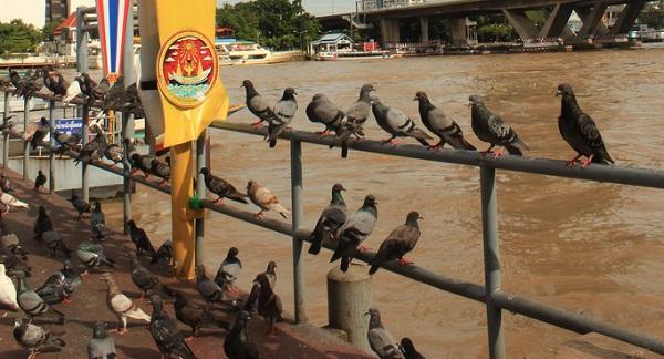 Những chú chim vô tư lự sau chùa