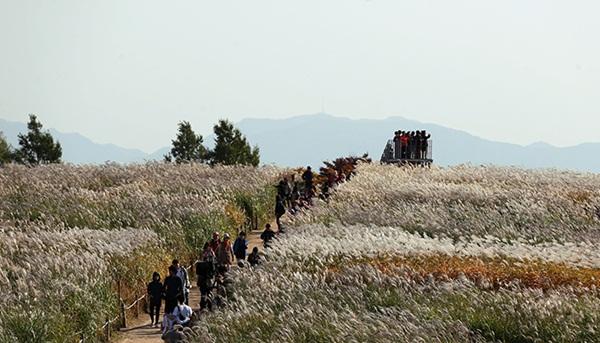 Lễ hội hoa lau Hàn Quốc
