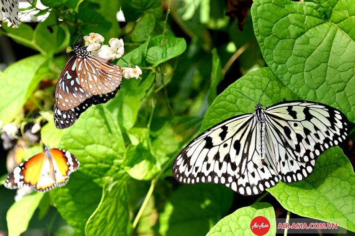 Trang trại bướm độc đáo tại thành phố Penang
