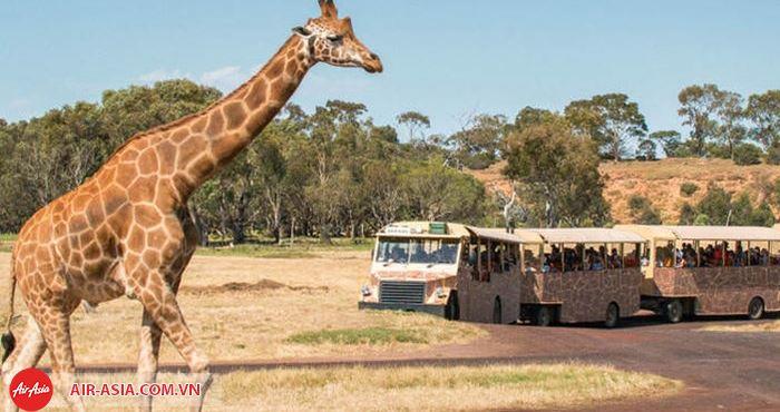 Sở thú Melbourne là nơi tạo ra cuộc sống cho các loại động vật gần với tự nhiên nhất ở Úc